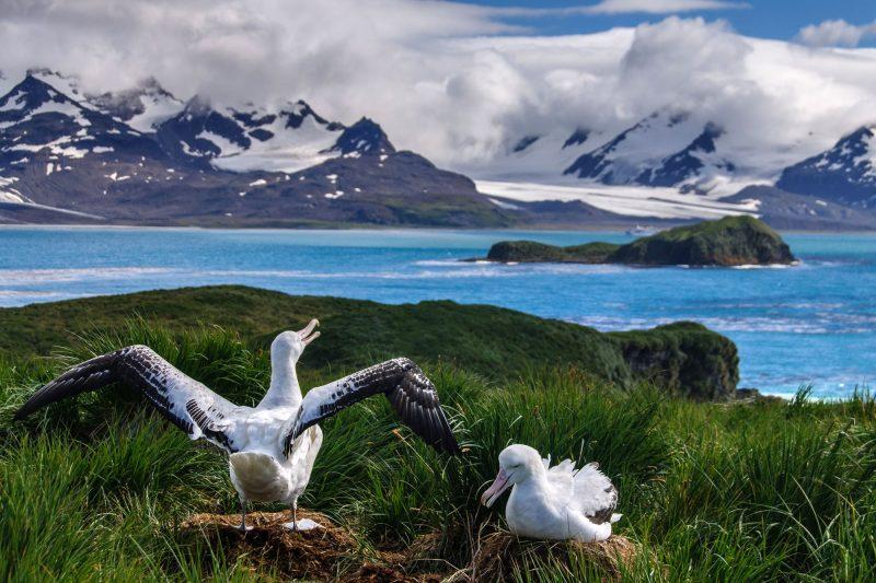 south georgia albatross pair istk