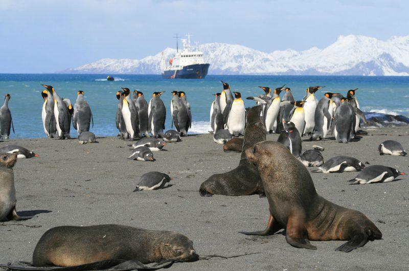 south georgia beach seals and penguins ae
