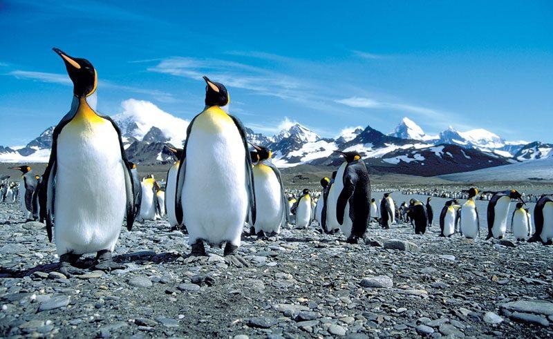 south georgia king penguins blue sky ze