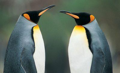 south georgia king penguins rh