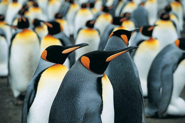 south georgia wildlife king penguins2 rh