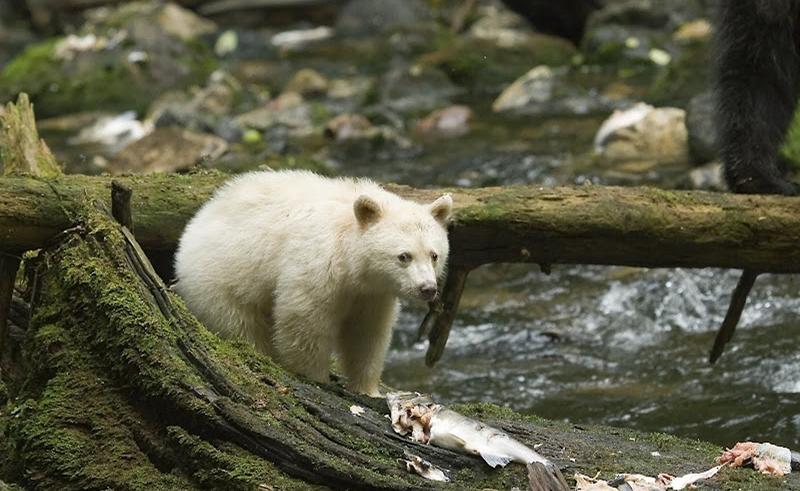 spirit bear lodge spirit bear