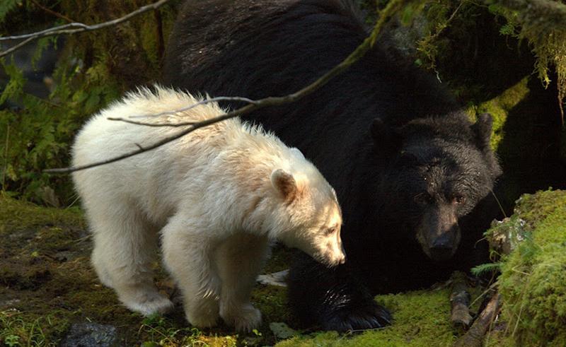 spirit bear lodge spirit bears