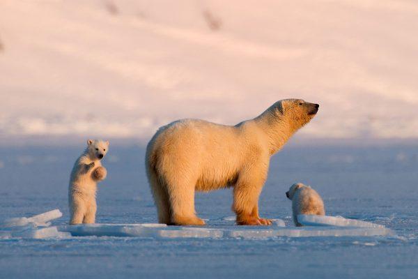 svalbard billefjorden polar bear and cubs vn