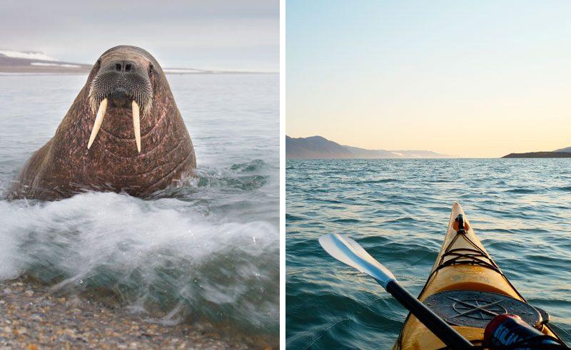 svalbard summer walrus and kayaking split image
