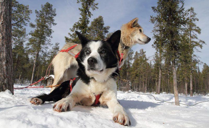 sweden lapland huskies wg