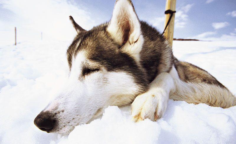sweden lapland sled dog in snow vs
