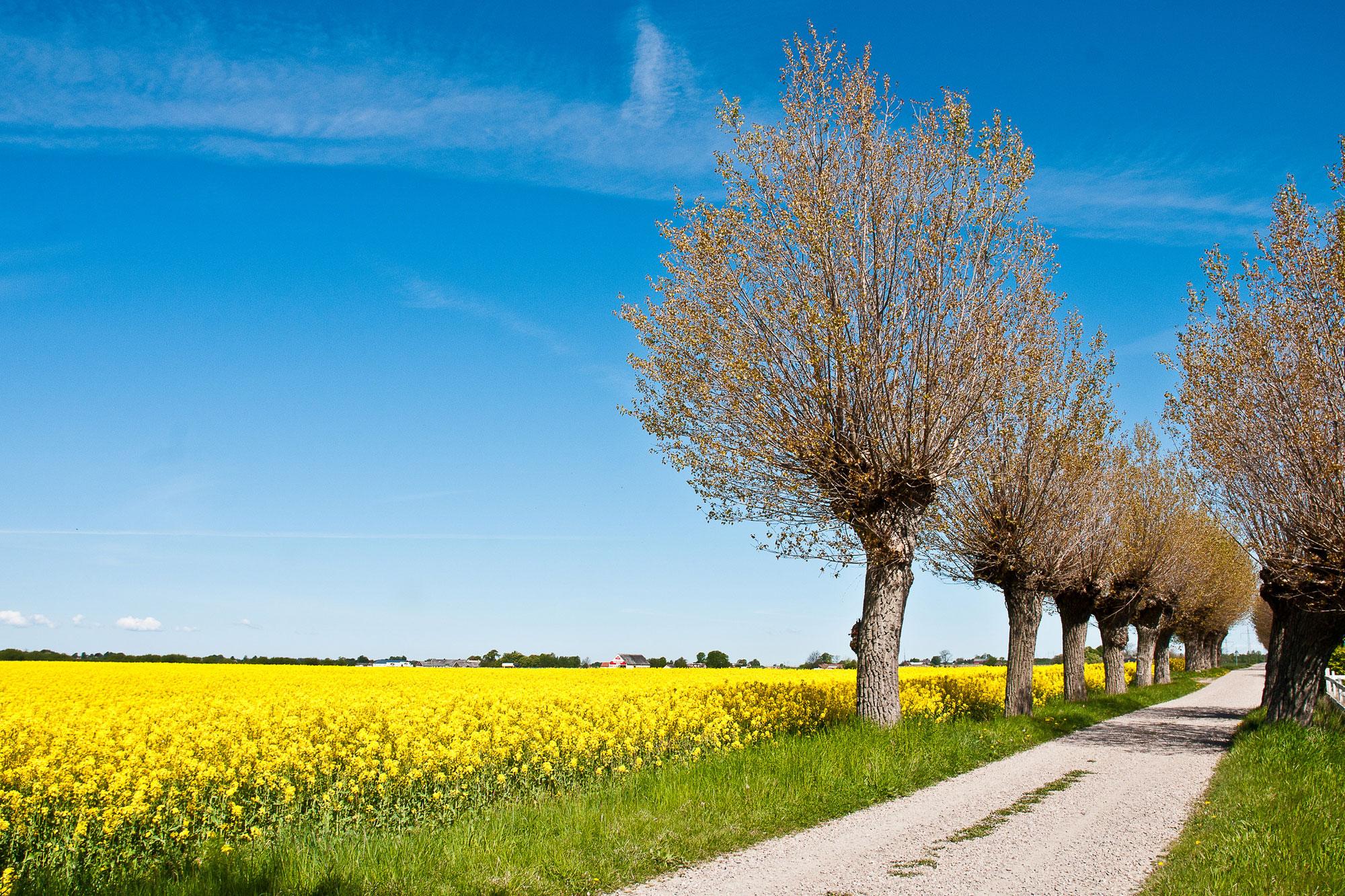 sweden skane canola field willow trees vs