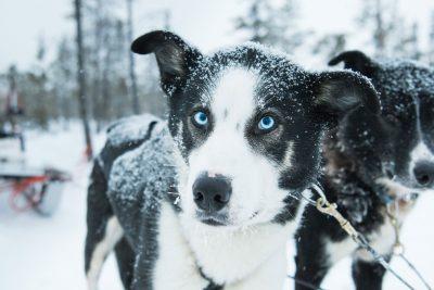 swedish lapland icehotel blue eyed husky gte