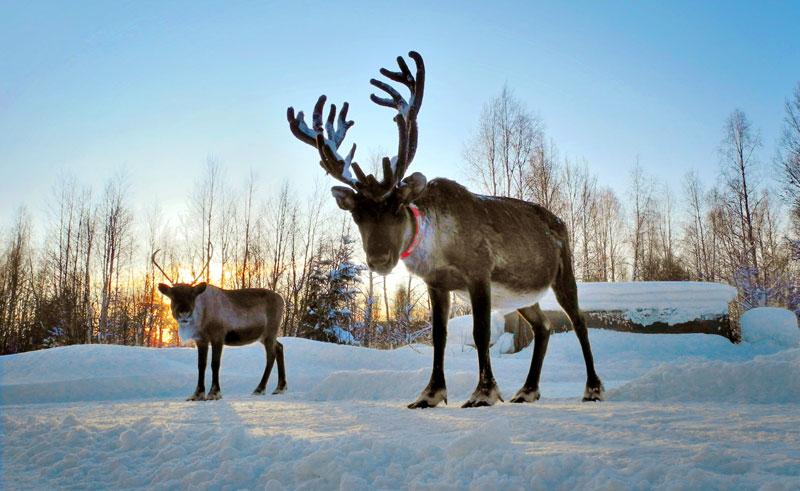 swedish lapland reindeer in winter istock