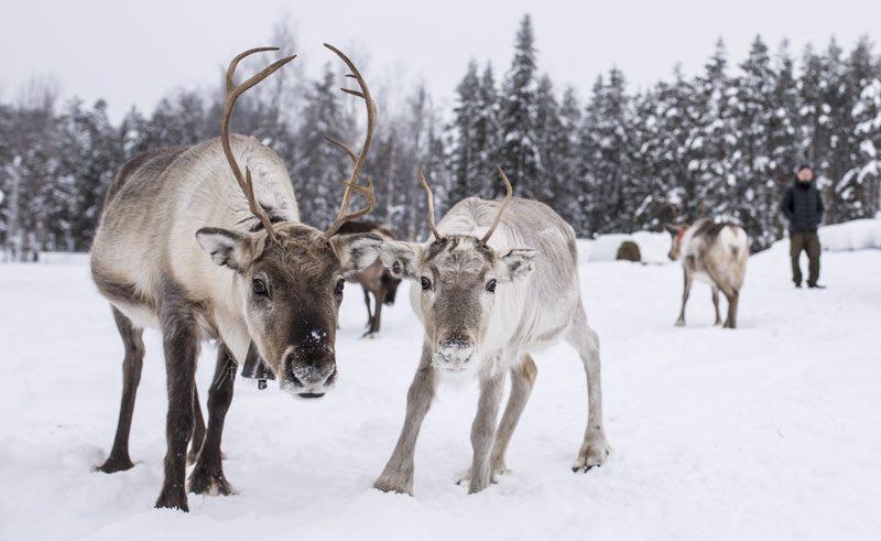 swedish lapland stora sjofallet reindeer ss