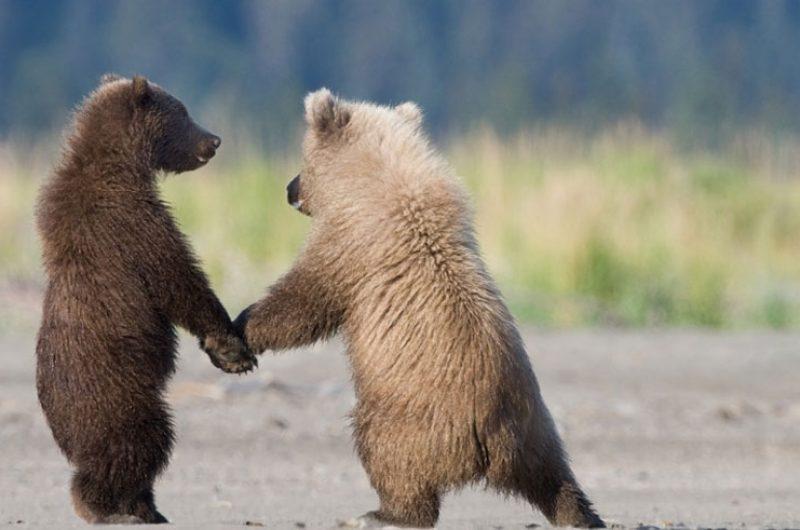 tweedsmuir park lodge grizzly bear cubs