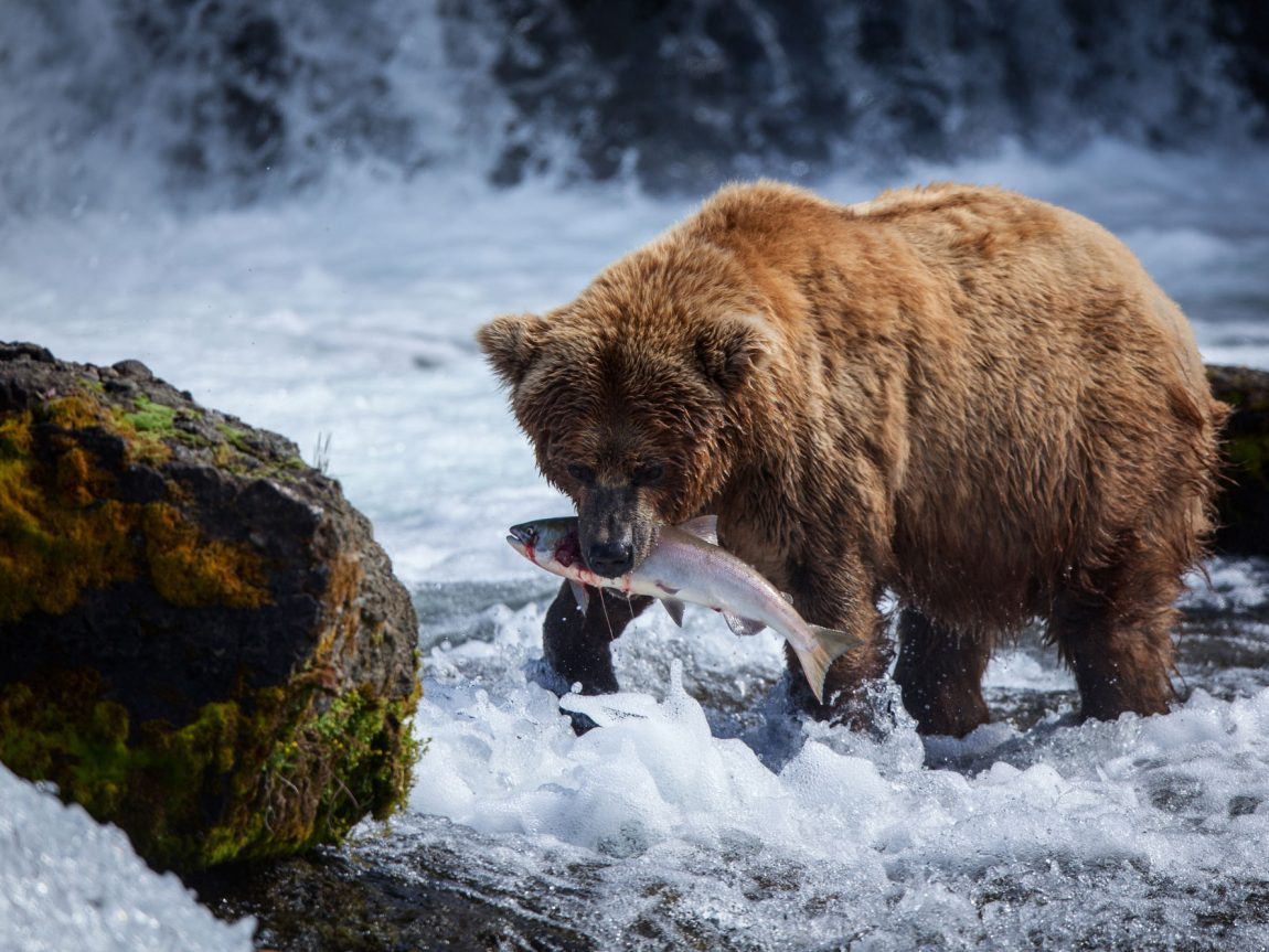 Grizzly feasting on salmon at Brooks Falls