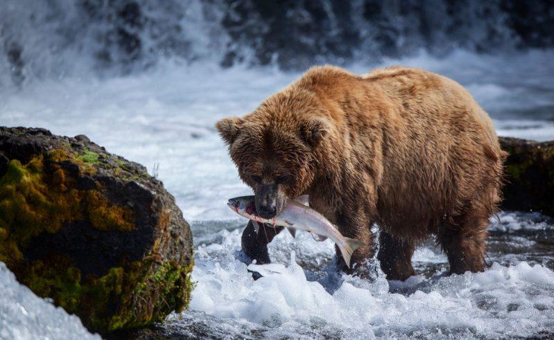 alaska south brooks falls brown bear feasting on salmon astock