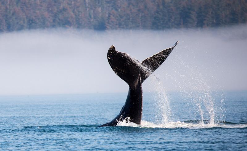 alaska south glacier bay humpback whale tall astock