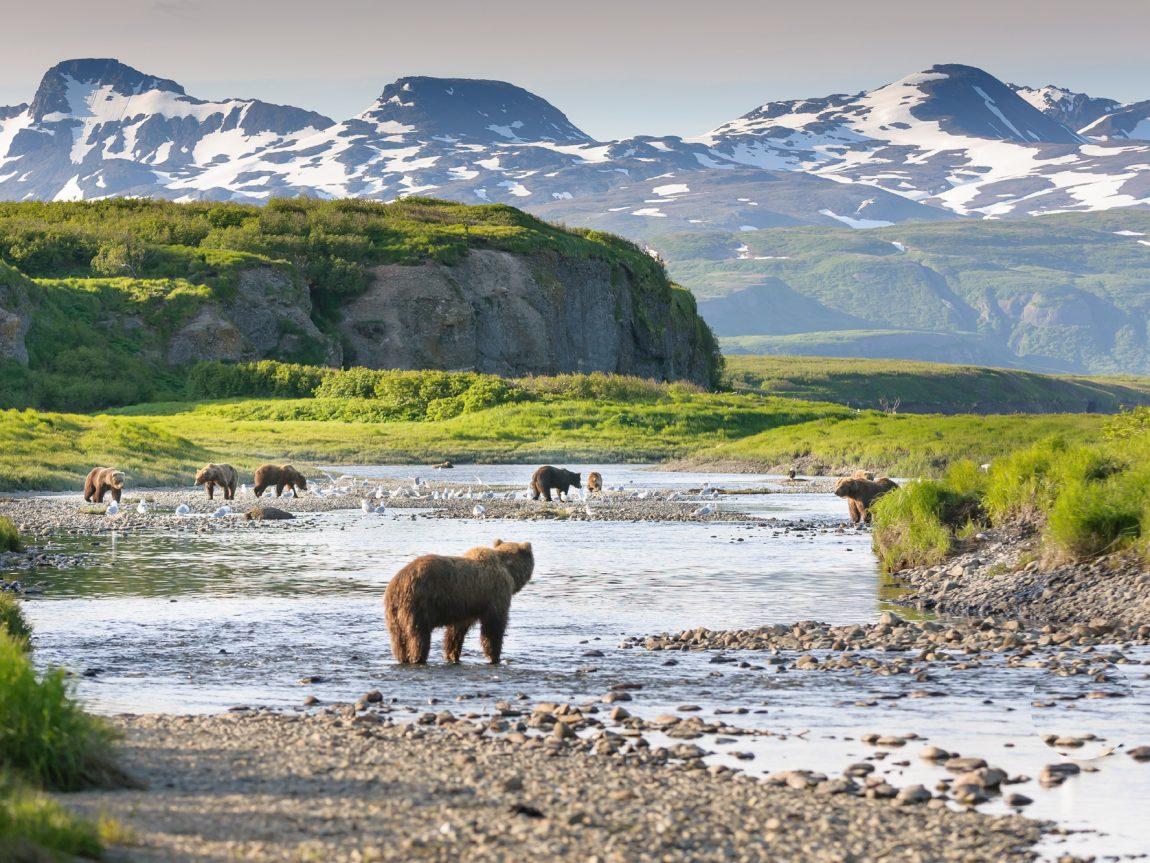 alaska south katmai national park brown bears by river istk