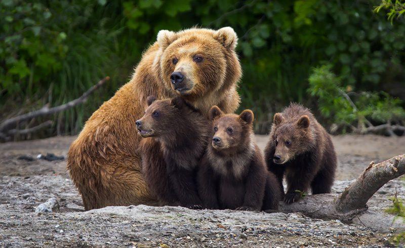 alaska south katmai peninsula brown bear and cubs istk