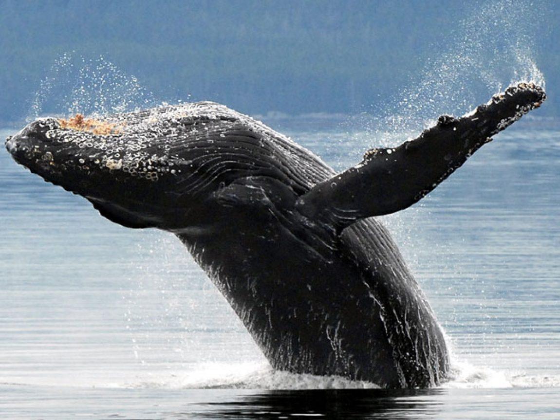 alaska south kenai fjords humpback whale aat