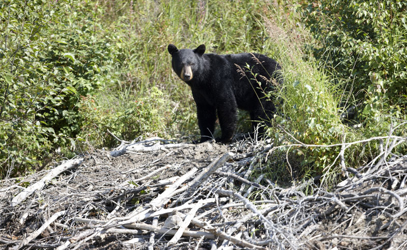 alaska south redoubt bay black bear atia