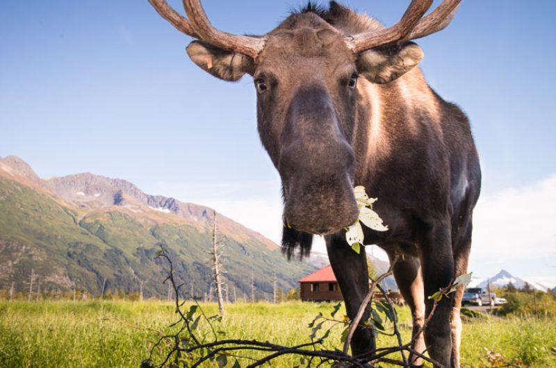 alaska wildlife moose va