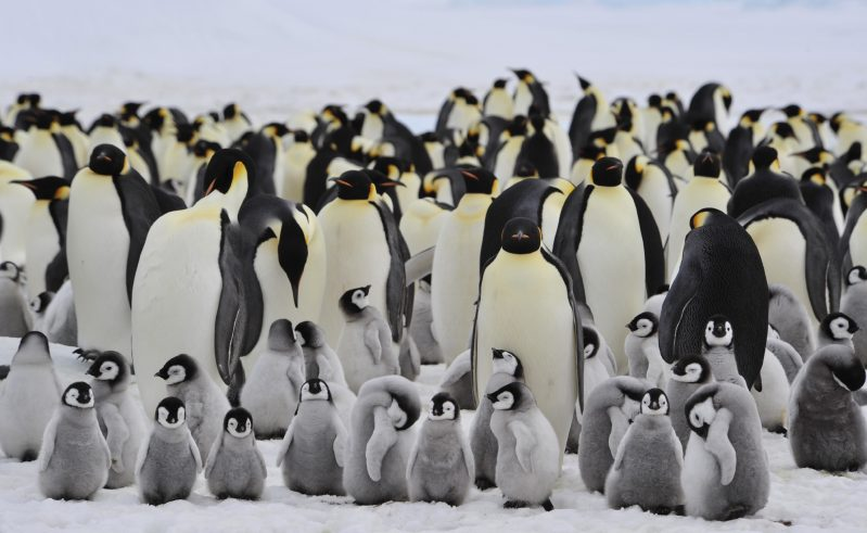 antarctica emperor penguin colony with chick istk