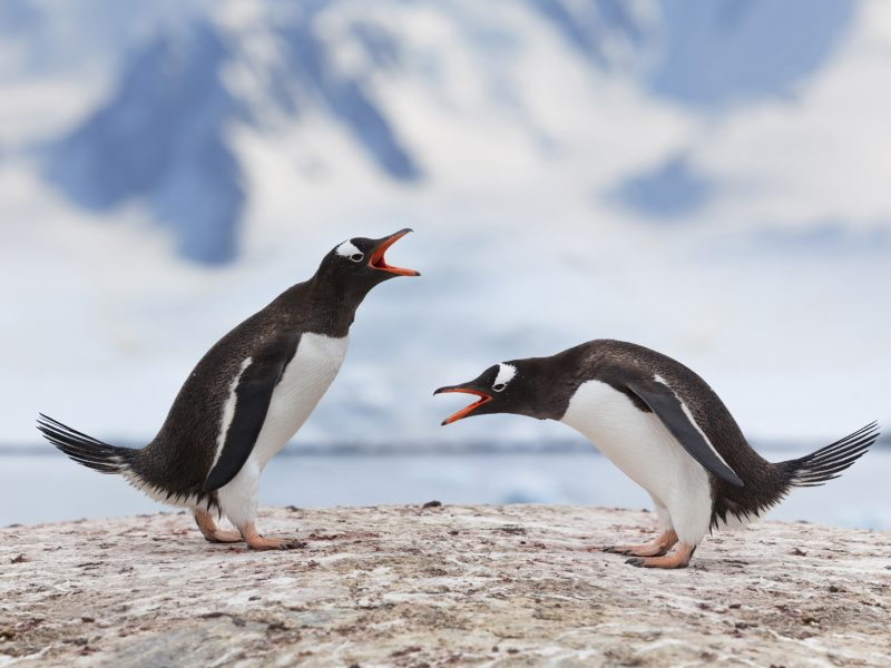 antarctica gentoo penguin pair istk