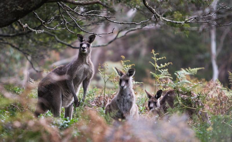 australia blue mountains kangaroos