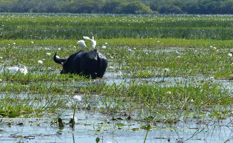 australia kakadu yellow waters billabong water buffalo ll