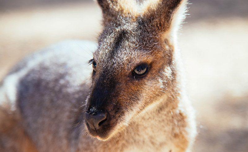 australia new south wales blue mountains kangaroo dnsw
