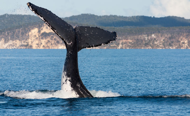 australia queensland hervey bay humpback whale tail as
