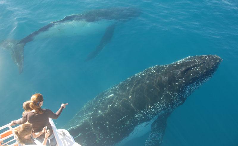 australia queensland hervey bay humpback whalesong cruises