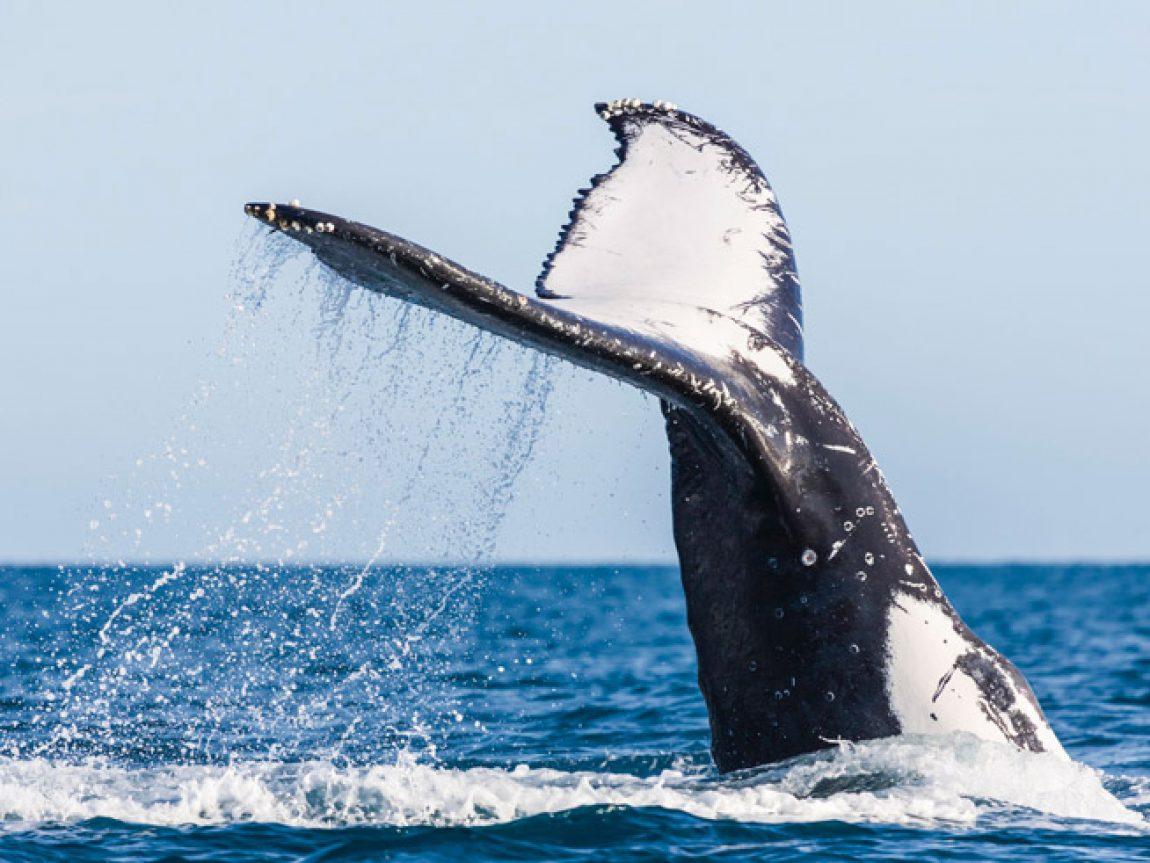 australia queensland humpback whale tail tq