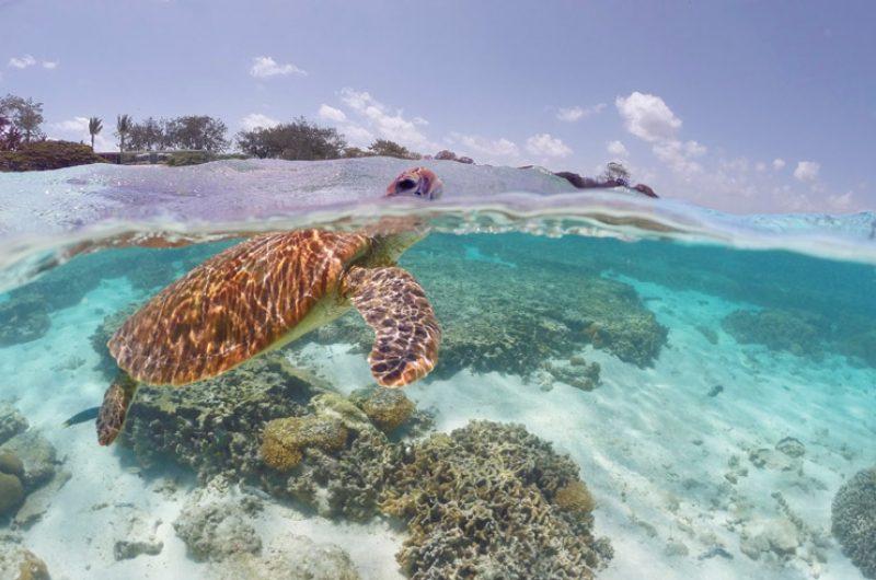 australia queensland lady elliott island turtle