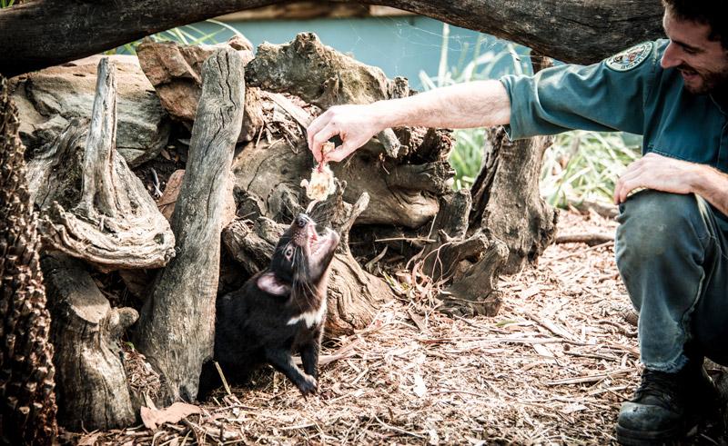 australia tasmanian devil sanctuary tasmania tt