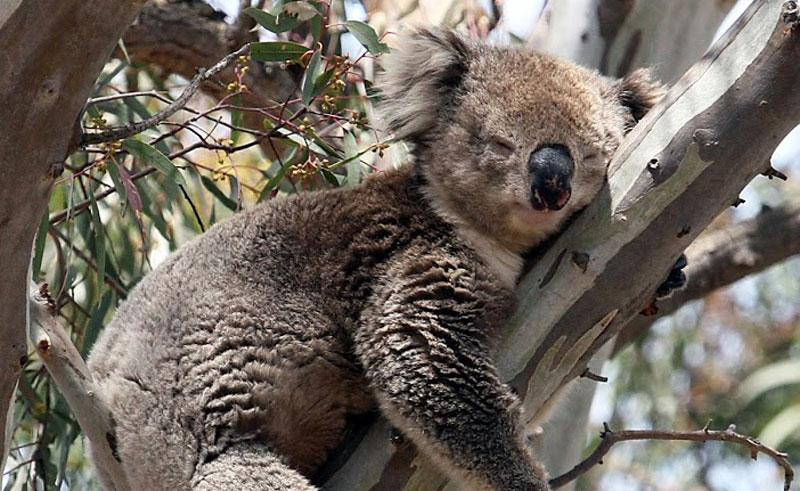australia victoria koalas and kangaroos tour