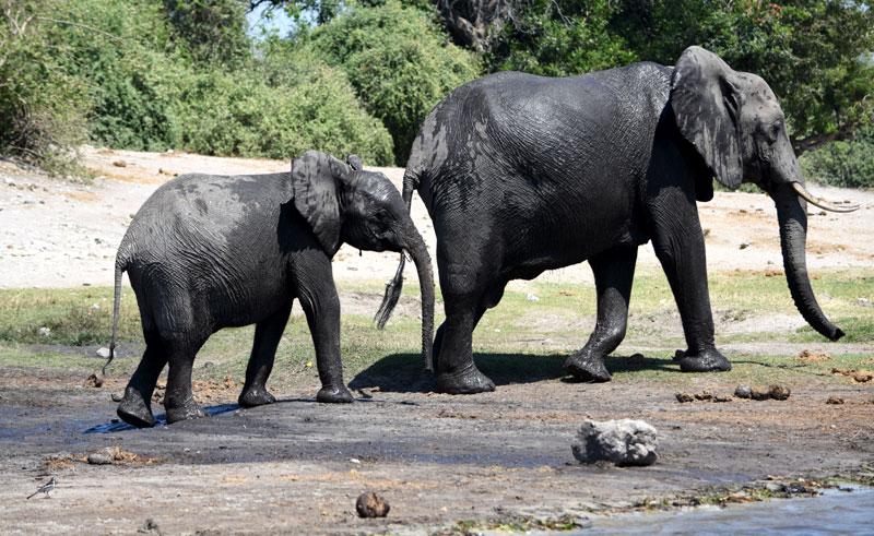 botswana chobe elephant mother and calf djb