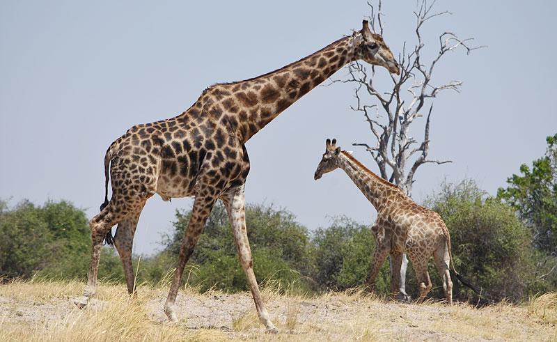 botswana chobe wildlife giraffes djb