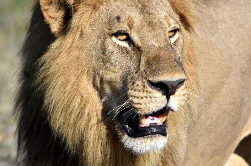 botswana okavango delta lion closeup djb