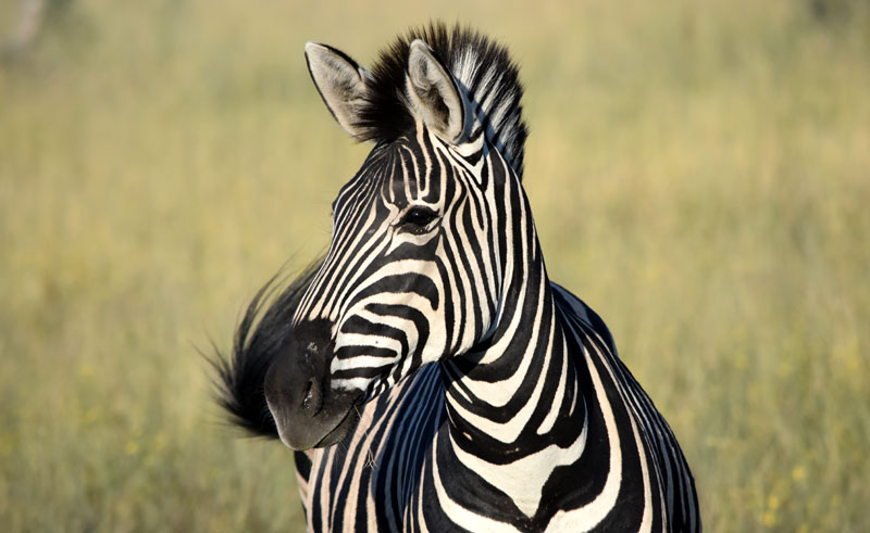 botswana okavango zebra closeup djb