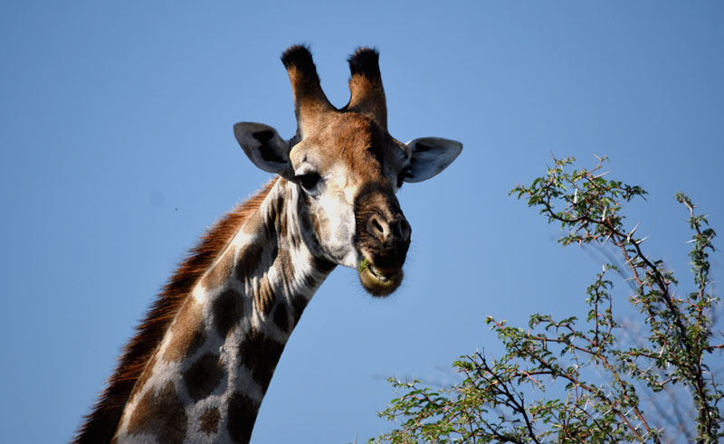 botswana wildlife giraffe djb