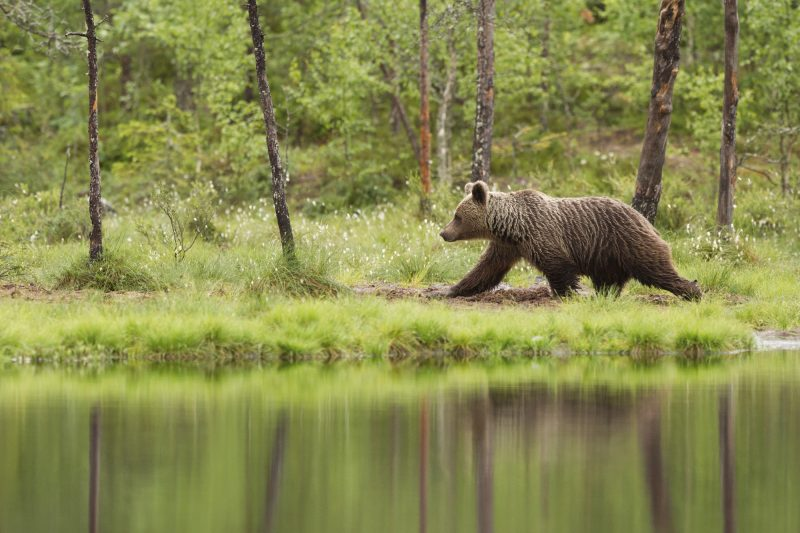 east finland brown bear istock