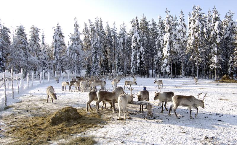 finnish lapland reindeer farm iso syote