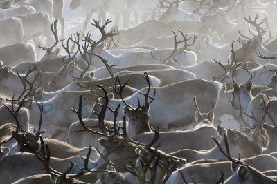 finnish lapland reindeer herd lmb