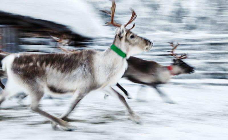 finnish lapland ruka reindeer farm