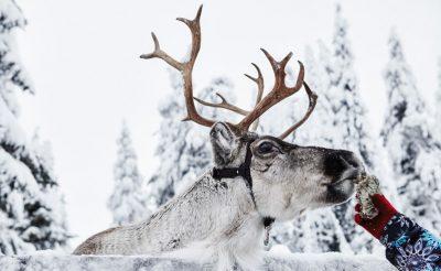 finnish lapland ruka reindeer feeding