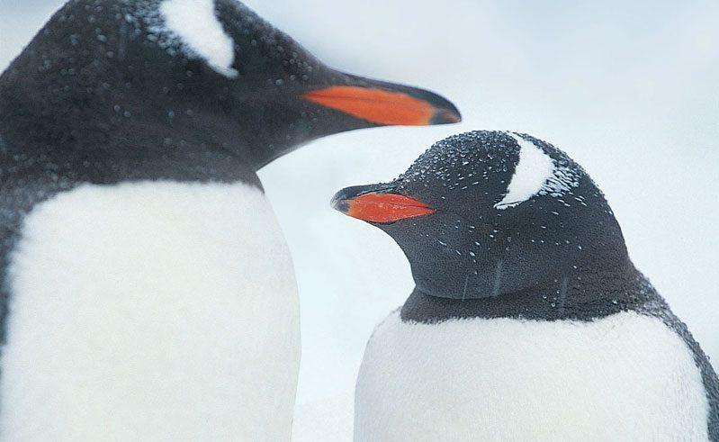 gentoo penguin pair rh