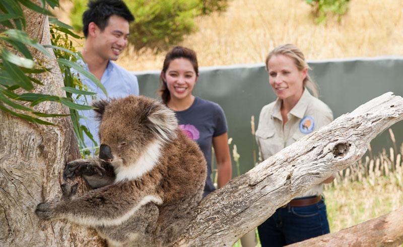 great ocean eco lodge conservation koalas