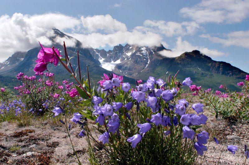 greenland alpine flora vgrnlnd jr