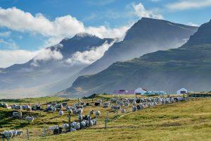 iceland east fjords highland sheep farm rth