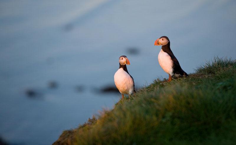 iceland north puffins midnight sun st